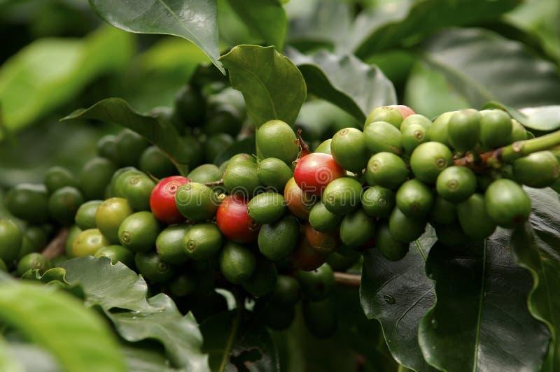 Завод Coffe стоковое изображение rf