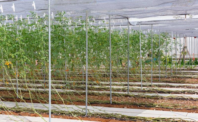 Завод creeper картошки на органическом сельском хозяйстве стоковое изображение rf