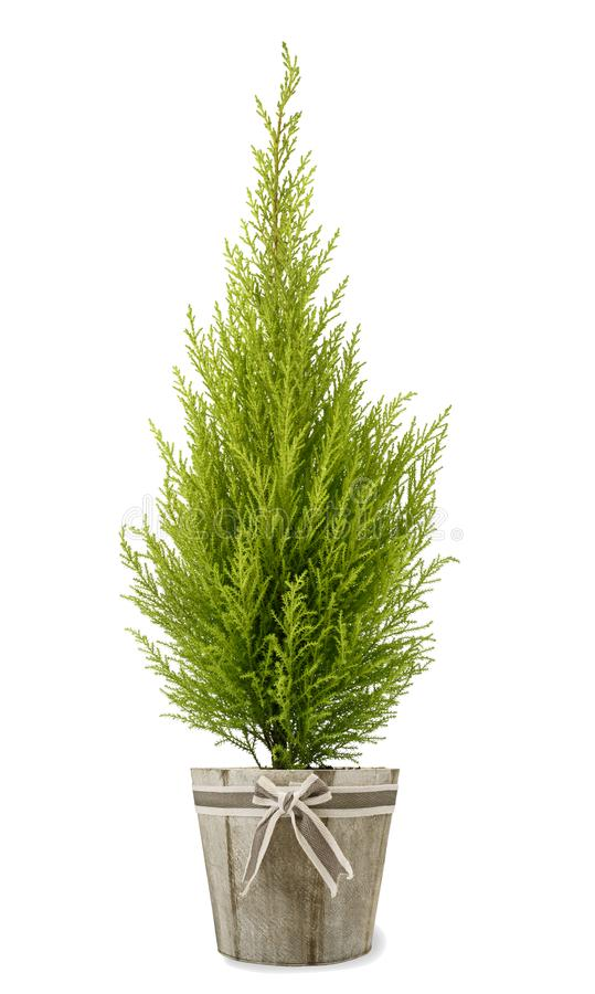 Завод Cypress в вазе стоковые изображения