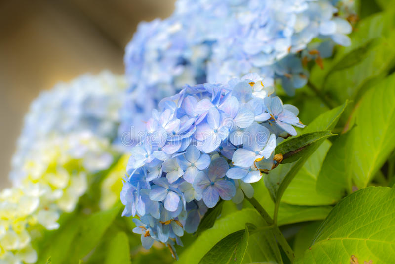 завод hydrangea hortensia ajisai стоковое изображение rf