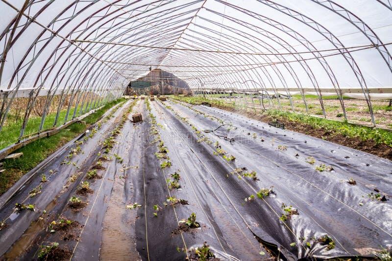 Завод Mashua свеже трансплантированный в ферме зеленого дома стоковые фотографии rf