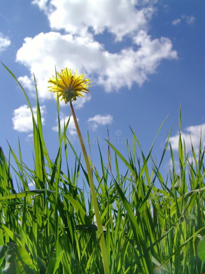 заволакивает цветок одуванчика стоковая фотография