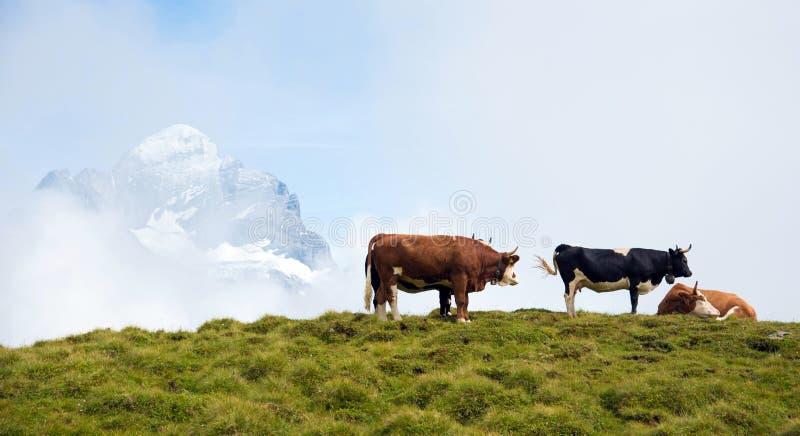 Завораживающий ландшафт с коровами в горах в тумане  стоковые изображения