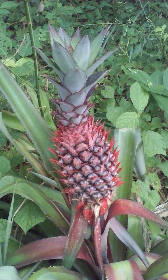 Завод ананаса с плодоовощ стоковая фотография