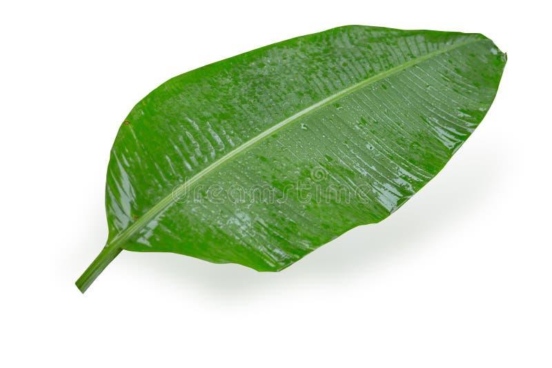 Завод влажных лист банана тропический на белизне стоковые изображения