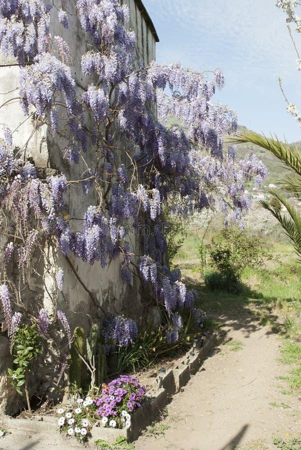 Завод глицинии в старом дворе с другими цветками стоковые изображения
