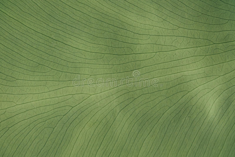Завод листьев предпосылки зеленый тропический Пальма зеленой листвы текстуры тропическая стоковое фото rf