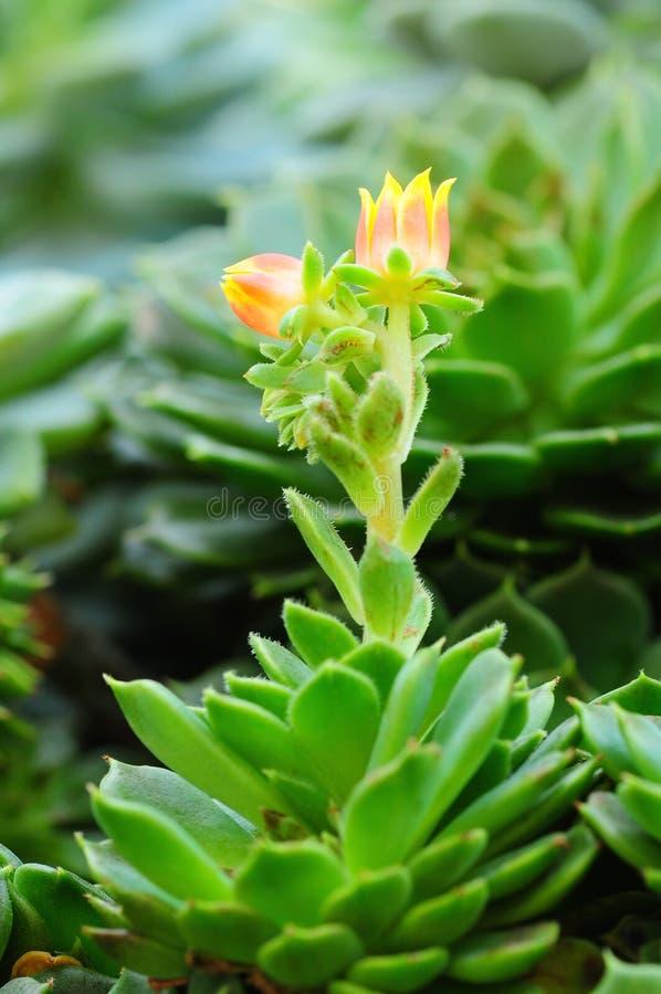 Завод кактуса с желтым цветком стоковое изображение