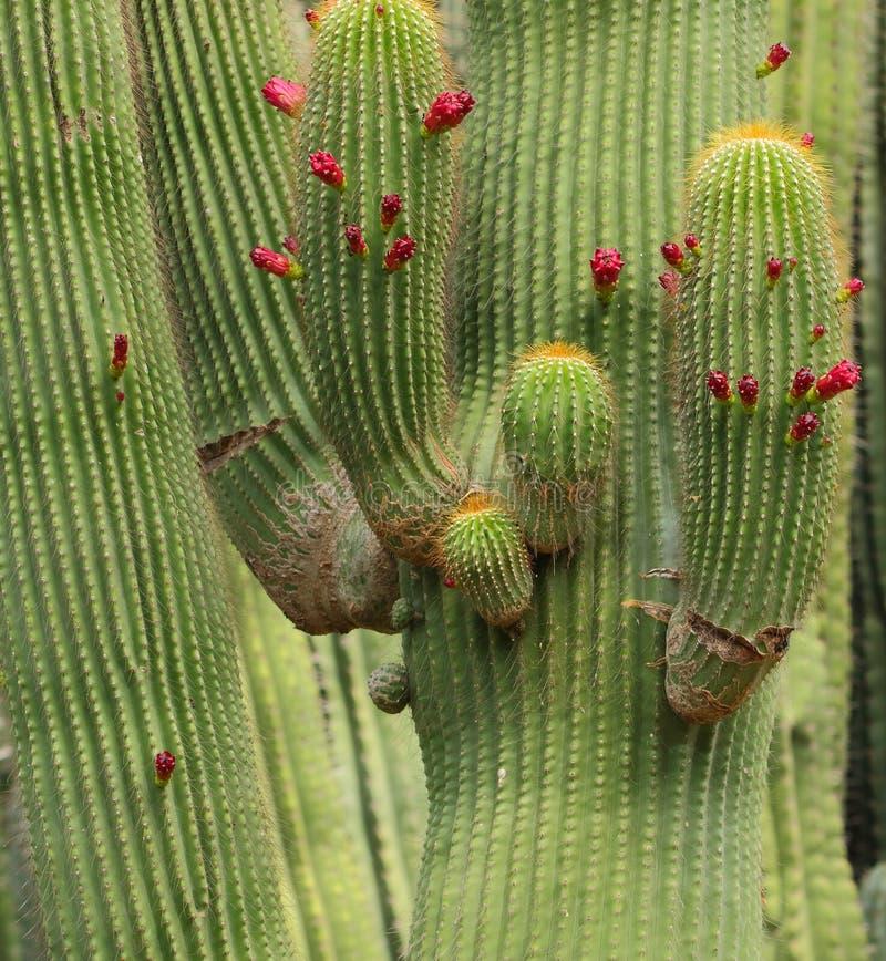 Завод кактуса с цветком стоковые изображения rf