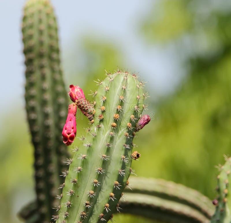 Завод кактуса с цветком стоковые фотографии rf