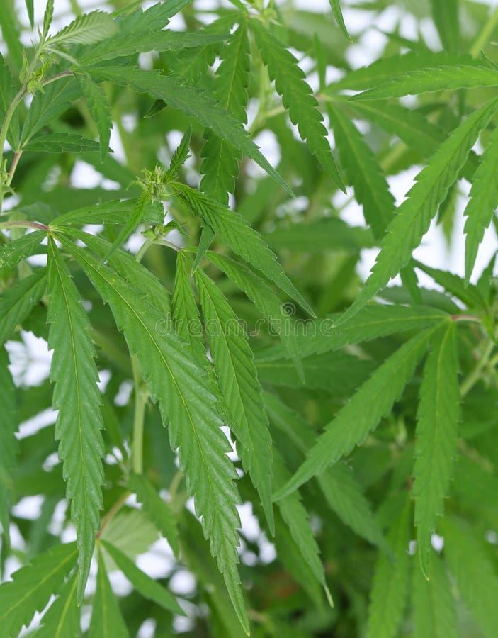 Завод конопли (марихуаны). стоковое фото