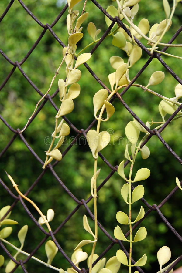 Download Завод муравья (груша Pectinoides Dischidia) Стоковое Фото - изображение насчитывающей пуща, листья: 33738372