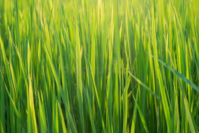 Завод обоев риса стоковое фото rf