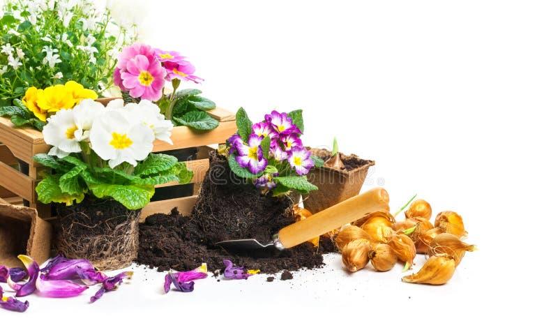Завод первоцвета, садовничая стоковые фотографии rf