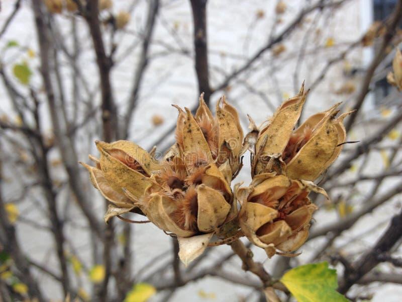 Завод Розы-sinensis гибискуса с Seedpod осенью стоковые изображения
