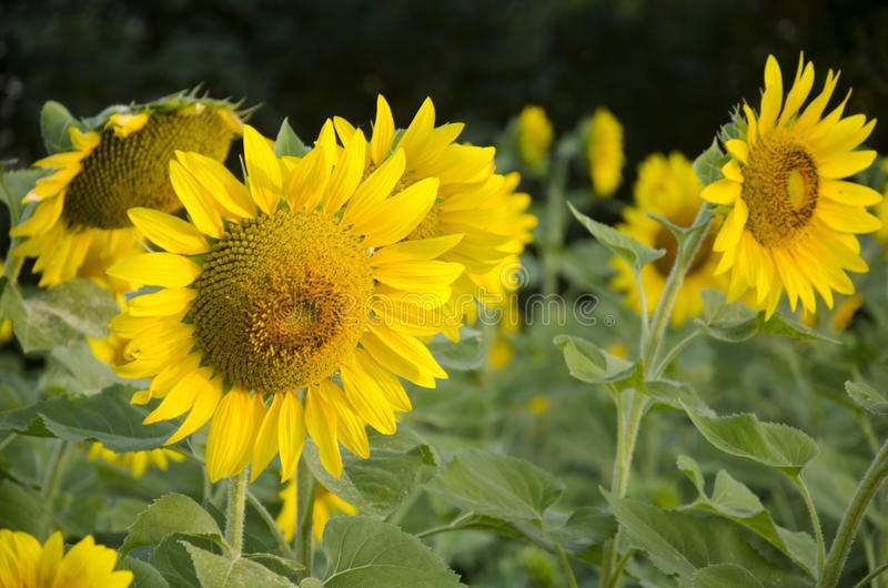 Завод солнцецвета на поле стоковые фото