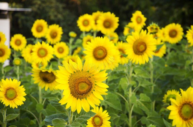 Завод солнцецвета на поле стоковая фотография
