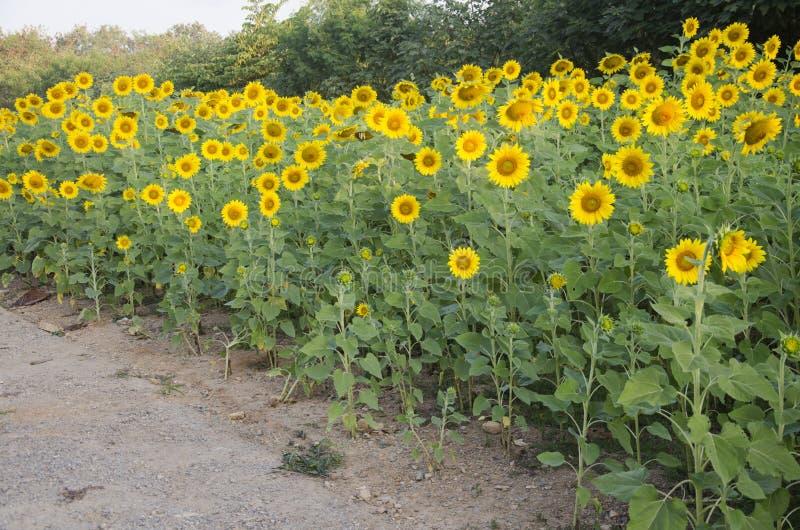 Завод солнцецвета на поле стоковое фото