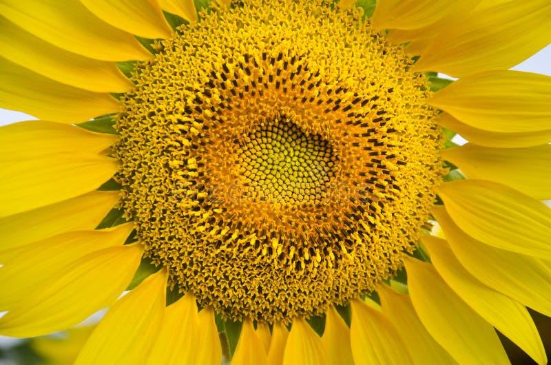 Завод солнцецвета на поле стоковая фотография rf