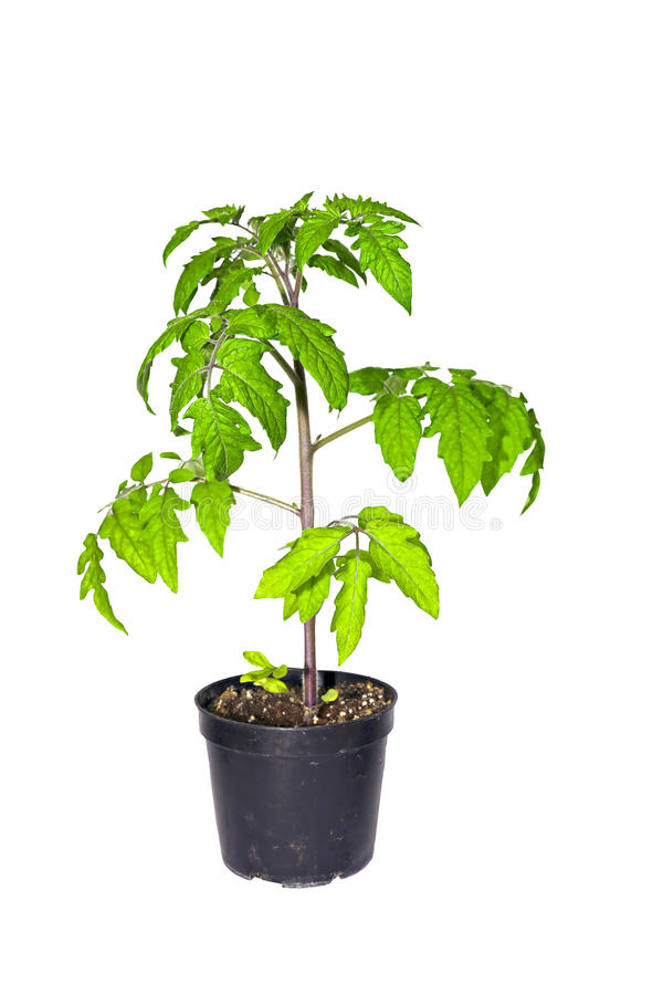 Download Завод томата в изолированном баке Стоковое Изображение - изображение насчитывающей молодо, завод: 40581435