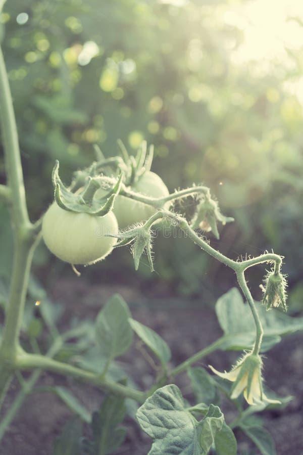 Download Завод томата стоковое фото. изображение насчитывающей здорово - 33737464