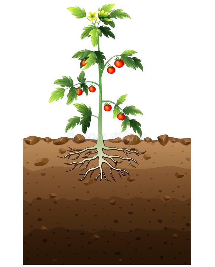 мать картинка корень помидора картинка под