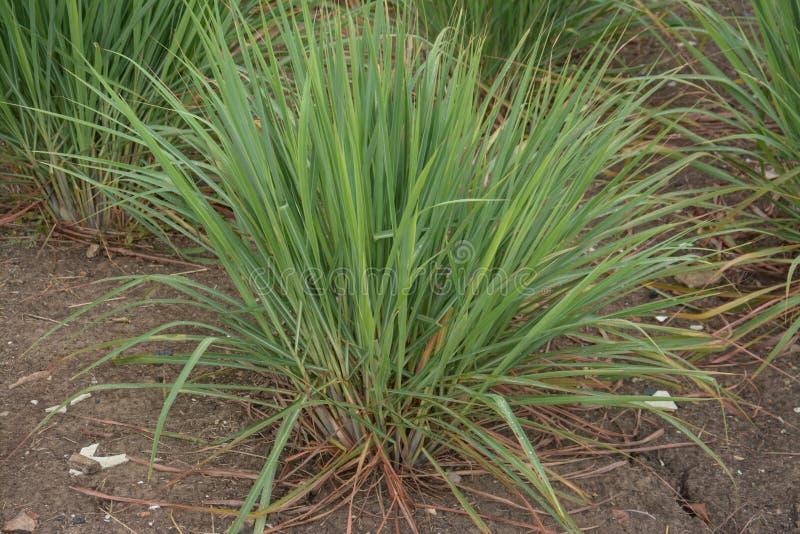 Download Завод травы лимона стоковое фото. изображение насчитывающей пепельнообразные - 40591848