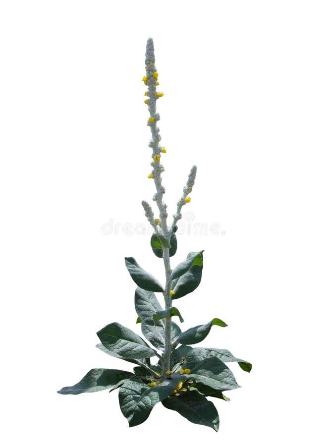 Завод цветка thapsus Verbascum стоковые изображения