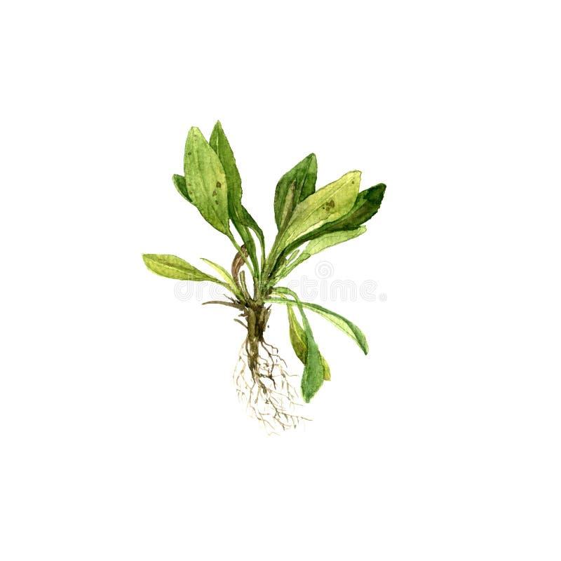 Завод чертежа акварели с листьями и корнями стоковые фотографии rf