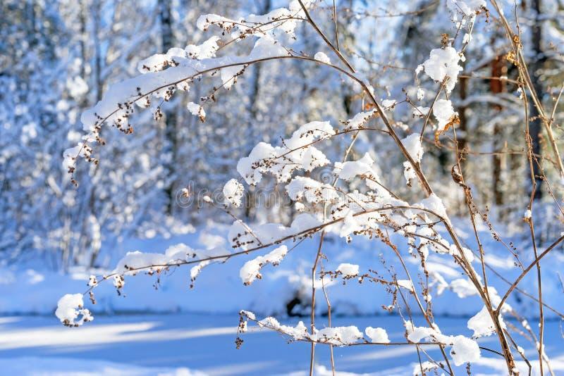 Заводы замерли Snowy, который, предпосылка леса зимы стоковые фотографии rf