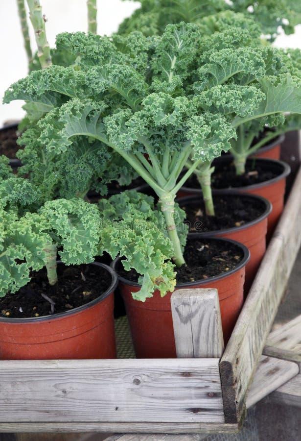 Заводы листовой капусты домашние растущие стоковые изображения rf