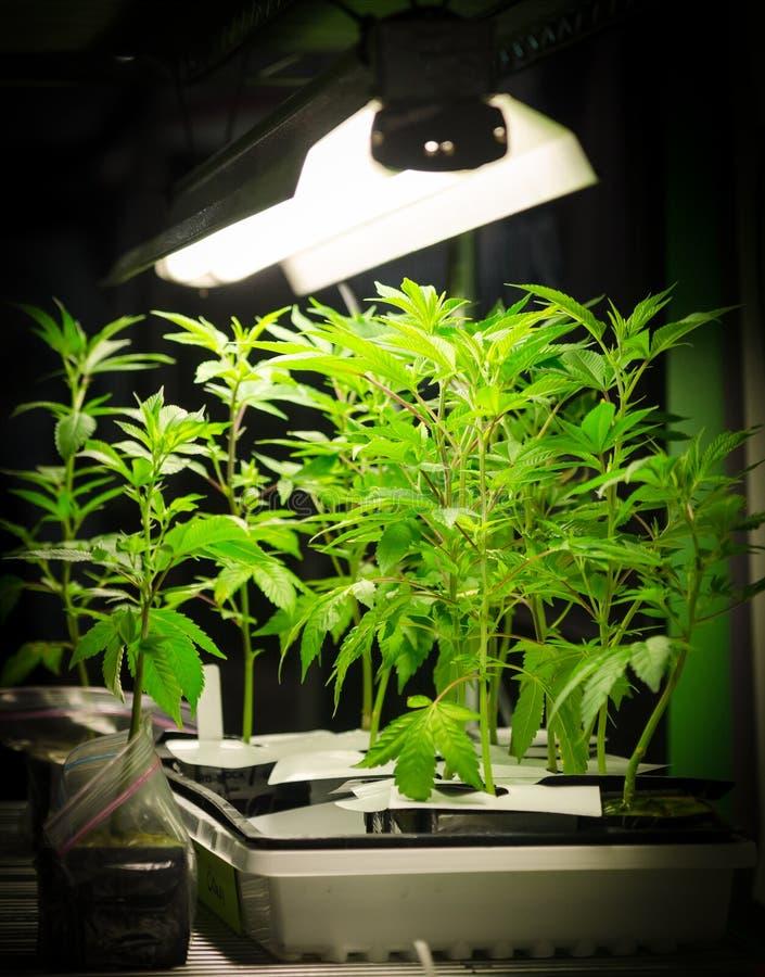 Заводы марихуаны под светами стоковое фото rf