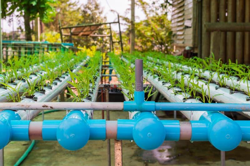 Заводы органического зеленого салата малые или овощ салата, который выросли от системы гидропоники с жидкостным решением удобрени стоковые изображения