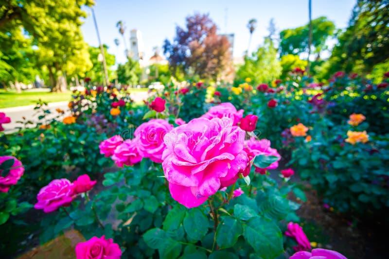 Заводы розария в sacramento Калифорнии стоковые изображения rf
