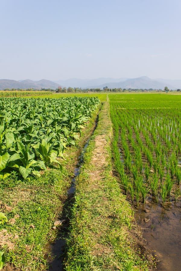Заводы табака, поле риса и мозоль стоковые фотографии rf