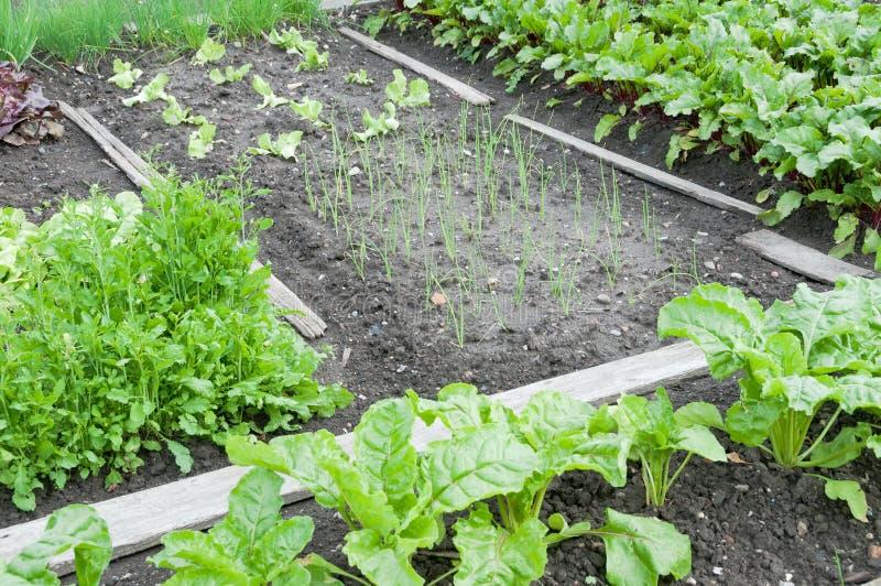 Заводы шпината и лука на заплате огорода стоковое изображение rf