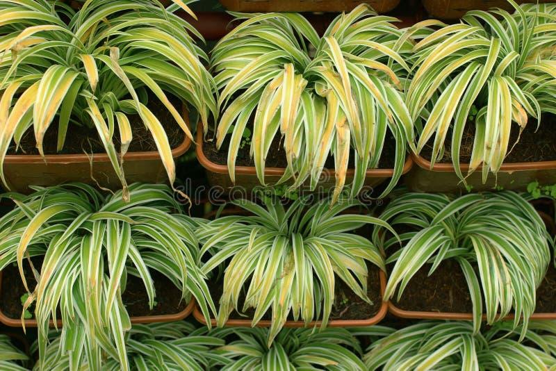 Заводы Chlorophytum стоковая фотография