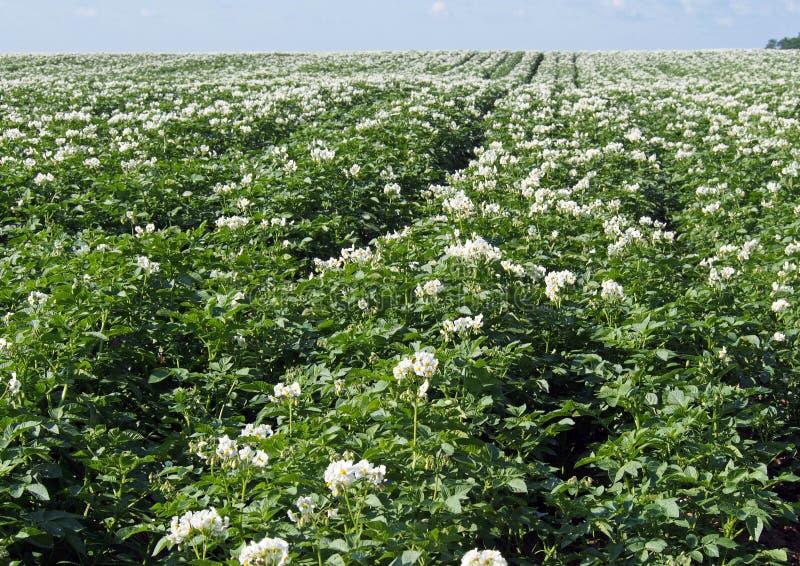 Download Заводы Flowerings картошки стоковое фото. изображение насчитывающей почва - 41657798
