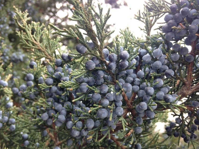 Завод Juniperus (можжевельника) с семенами стоковое фото rf