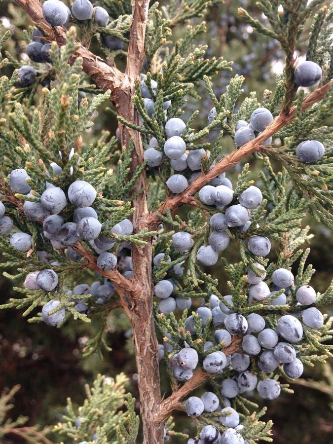 Завод Juniperus (можжевельника) с семенами стоковое изображение