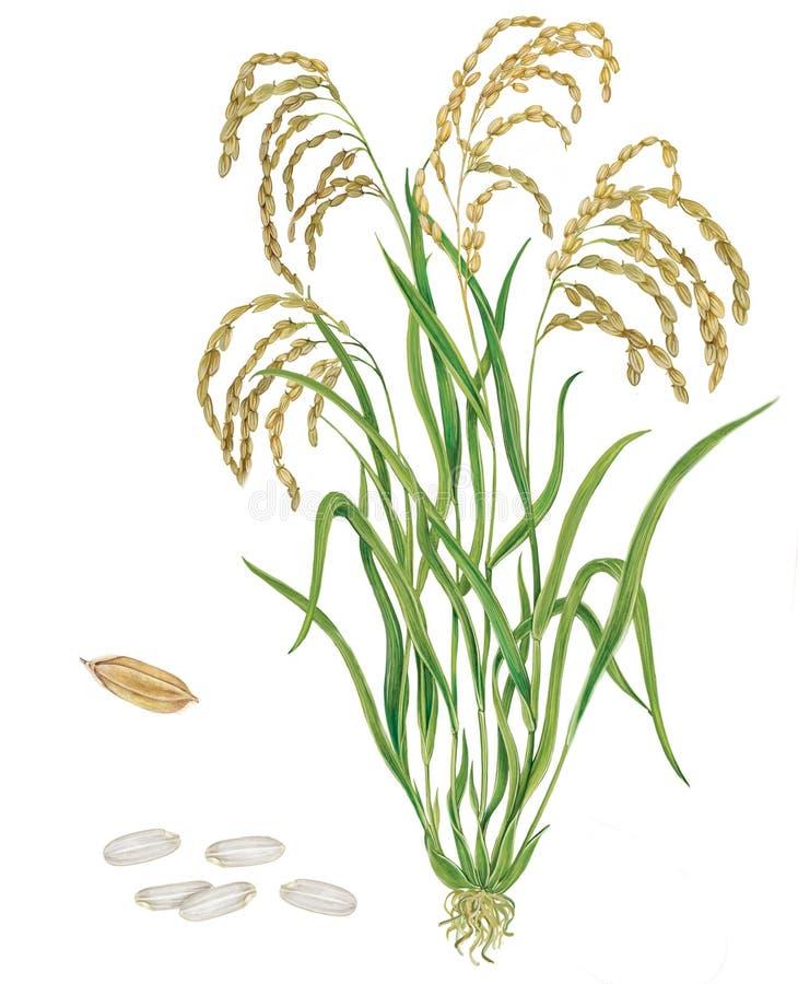 Завод Oryza риса sativa иллюстрация вектора