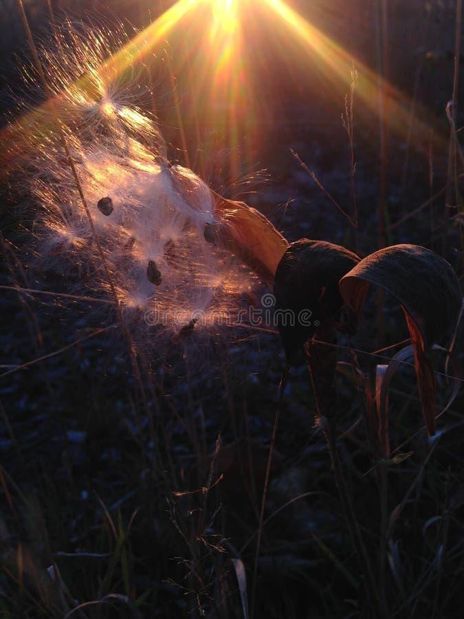 Завод Seedpod Asclepius Curassavica с семенами во время захода солнца осенью стоковое изображение