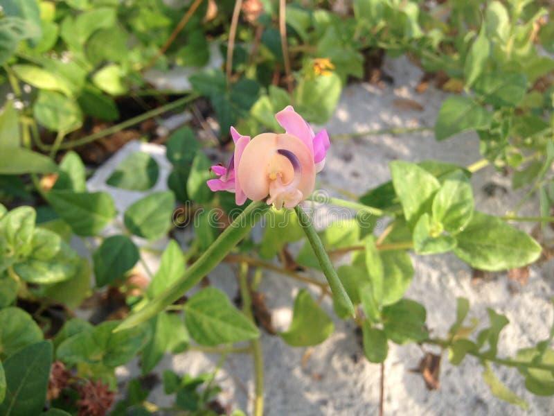 Завод Strophostyles Helvola при зеленое Seedpods Blossoming в песчанных дюнах стоковые изображения