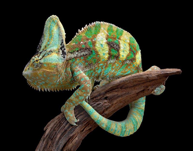 Завуалированный хамелеон на древесине стоковое фото