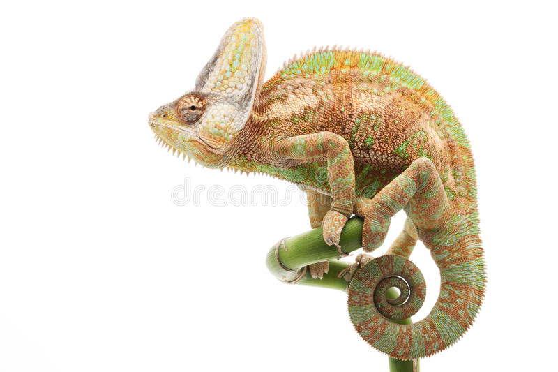 Завуалированный хамелеон стоковое изображение