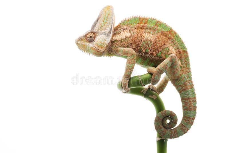 Завуалированный хамелеон стоковая фотография
