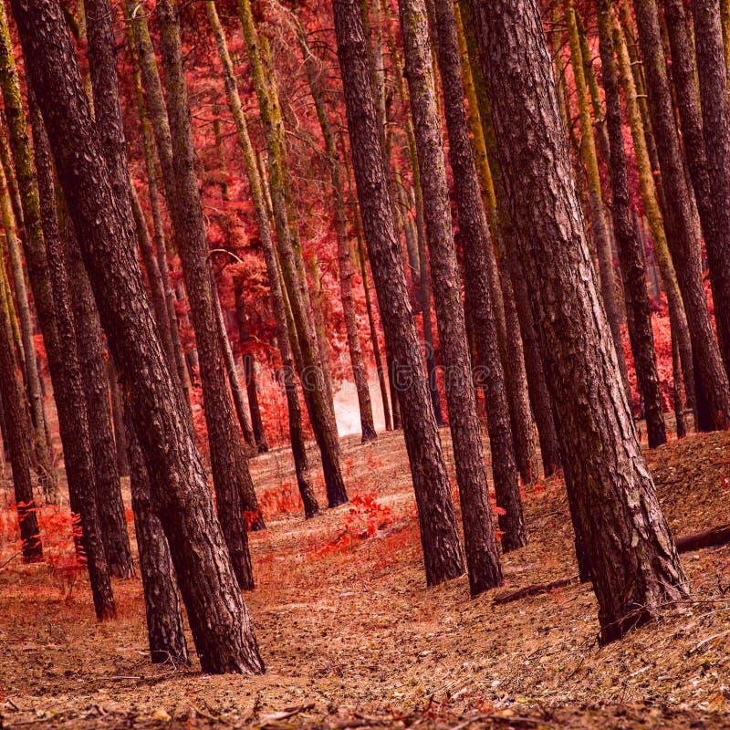 Загадочные высокие сосны в фантастическом лесе осени стоковая фотография rf