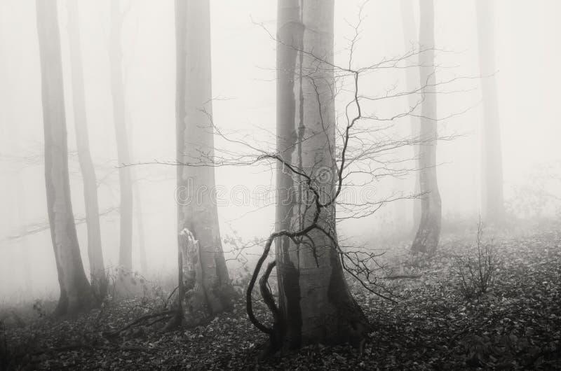 Загадочный туманный лес с старыми деревьями стоковое фото