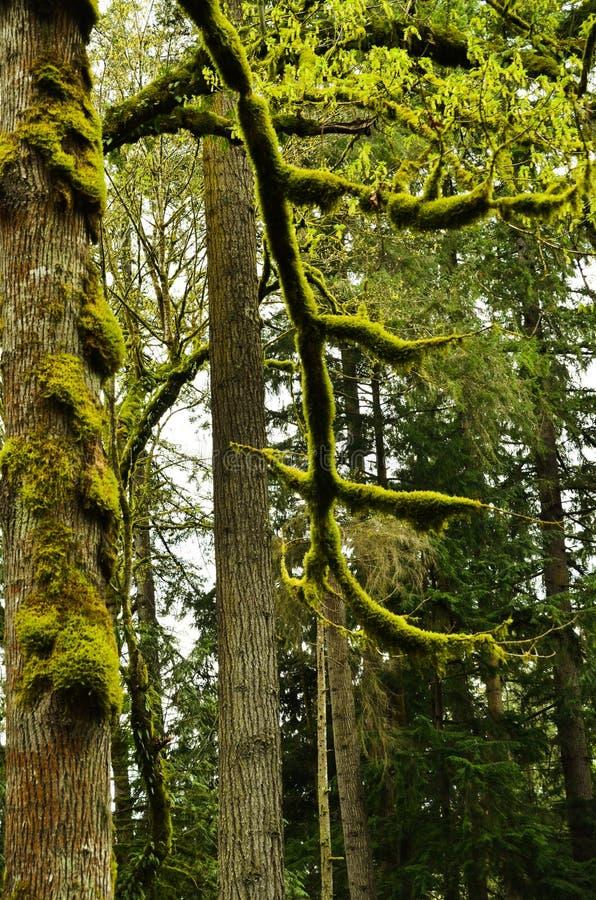 Загадочный лес в северной области Америки стоковая фотография