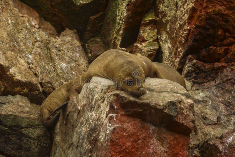 Загерметизируйте на островах Ballestas, Перу стоковые фотографии rf